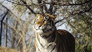 网传被八达岭野生动物园老虎袭击者是
