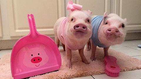 【特写】把猪当宠物:买猪一时爽,长?#37322;?#23472;场