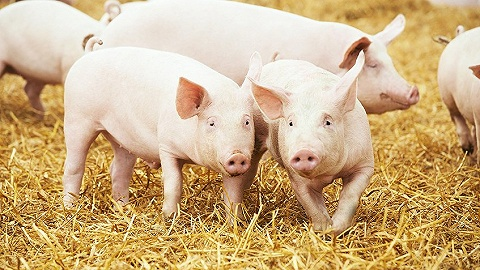 看好豬市風口,這30人想用AI養殖中國的6.9億頭豬