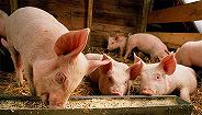 猪价上涨龙头们在干嘛?天邦股份募资4亿扩张,?#29575;?#32929;份要做?#23376;?#27611;鸡生意