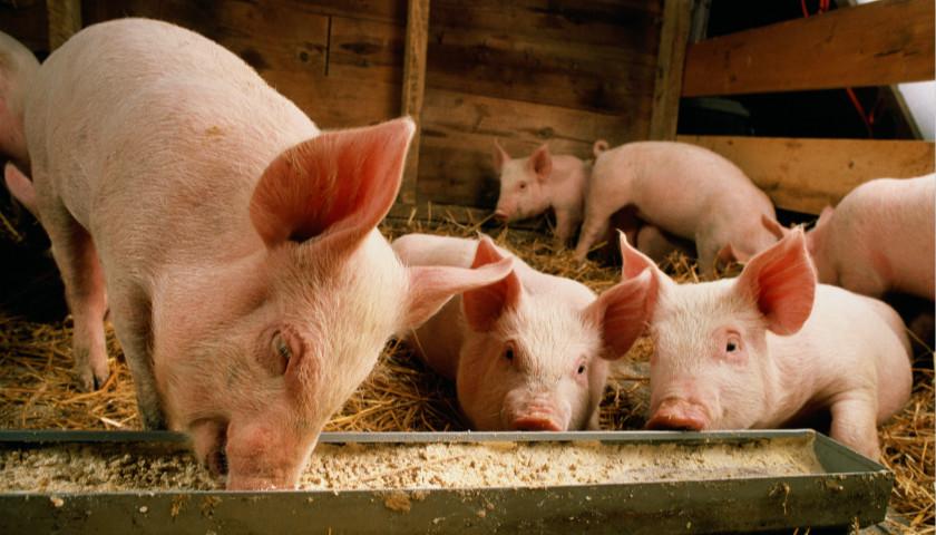 多部门出台17条硬措施支持生猪生产发展|界面新闻·中国