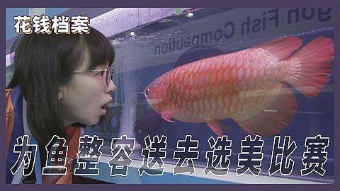 為魚做整容,送它去選美比賽