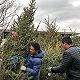 【特写】2000棵东北云杉和上海的平安夜:城市里的圣诞树哪来的?