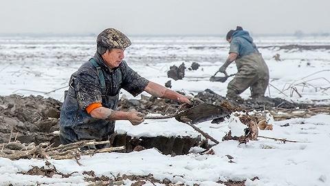 湖北藕供应紧俏,挖藕人还在等待上岗