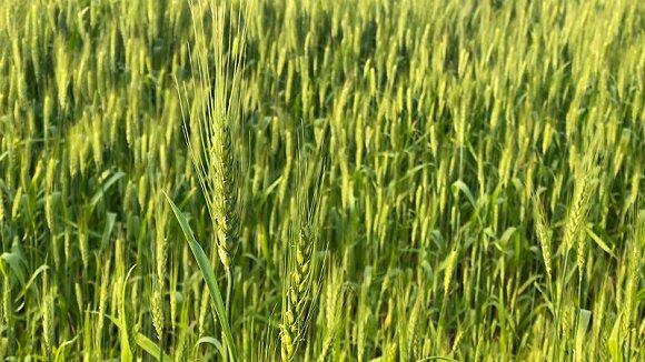 将万亩盐碱地变为良田,浦东老农张正权还追求零化肥、零农药