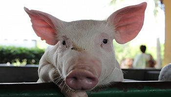 4月生猪产业发展指数继续大幅回落,猪肉市场供求关系趋向缓解