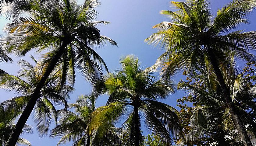 海南椰子产业如何健康成长?专家