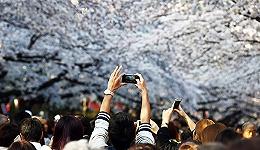日本的樱花树下挤满了中国游客 正式签证纸都用光了