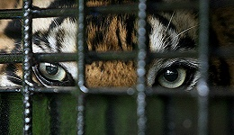中国养殖场圈养老虎谋财  主要为了取骨剥皮