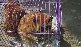 广西破获一起重特大非法运输珍贵濒危野生动物案 嫌疑人已被依法逮捕