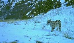 一头三条腿的高加索豹走出野生动物保护区踏上迁徙之旅 这意味着什么?