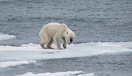 人类有道德义务援助哪怕一只受苦的动物:从饥饿的北极熊谈起