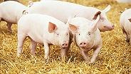看好猪市风口,这30人想用AI养殖中国的6.9亿头猪