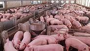 全国共发生129起非洲猪瘟疫情,累计捕杀生猪达到102万头