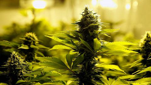 50年禁毒令宣告失败?卢森堡将在欧洲首推大麻全面合法化