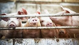 【深度】政策红包能否熨平猪周期?