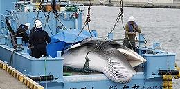 日本商業捕鯨近海船隊回港,223頭鯨1430噸肉11月起上市