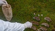 """麦克尼尔谈19世纪末鼠疫大流行:""""鼠疫的最新胜利依然是一种正常的生态现象"""""""
