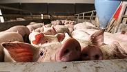 猪价上涨猪企出栏量却在减少,上市公司盈利期还有多久?