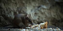 北京鼠疫病例为何来自内蒙古?
