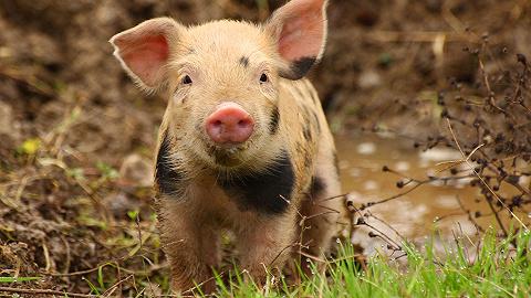 猪价降了,概念股集体大涨,牧原股份等龙头企业继续扩产