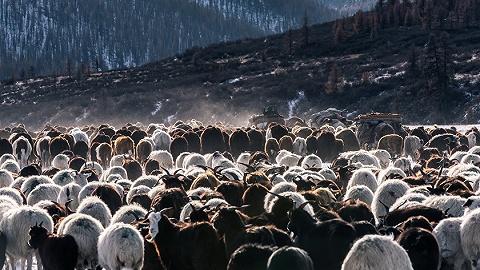 蒙古捐赠3万只羊尚未来华,双方正在讨论交接细节