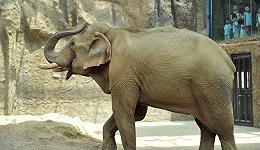 中国人与大象间的三千年搏斗:从云南野象罕见北迁说起
