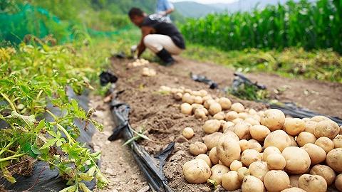 追踪土豆产地,联盟链技术被应用于农产品溯源