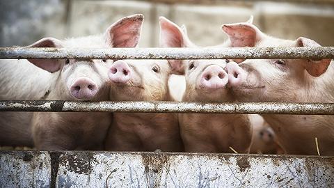 四家上市公司三季度预亏100亿,生猪行业遭遇最惨猪周期