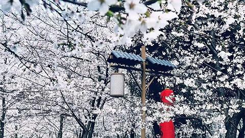 花香飘百里,2019金川古树梨花节3月16日即将开幕