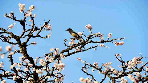 春风拂面绿陕西,细语杏花赏蓝田