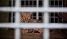 杭州第3只金钱豹仍未寻获?动物生意光鲜背后的暗影交织
