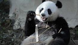 真香的熊猫IP,能在动物园之外造出新文化吗?